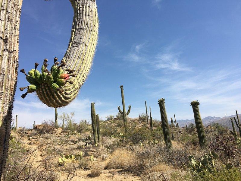 Hot in June, but Saguaros are flowering.