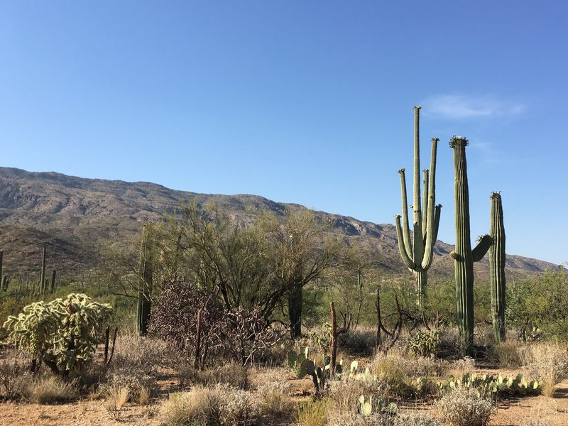 Flowering Saguaros, chollas, and prickly pear cacti.