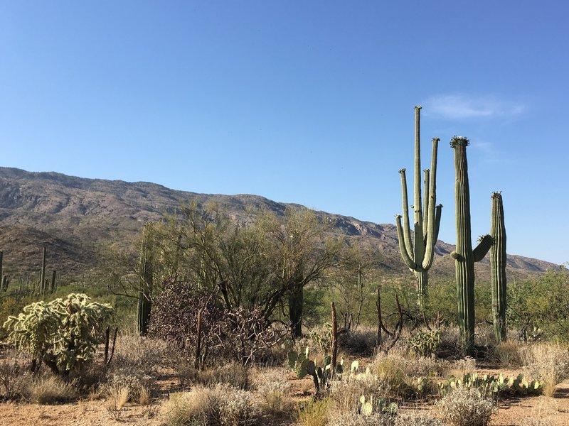 Flowering Saguaros, chollas, and prickly pear cacti.