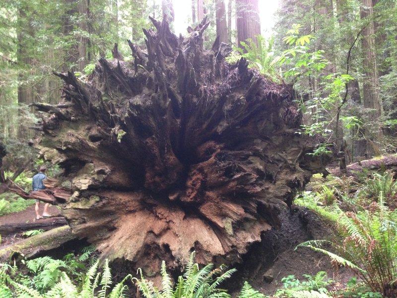 Old fallen redwood!