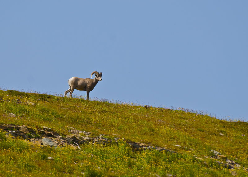 A bighorn sheep up there.