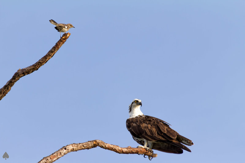 Mocking ignored by this Osprey.