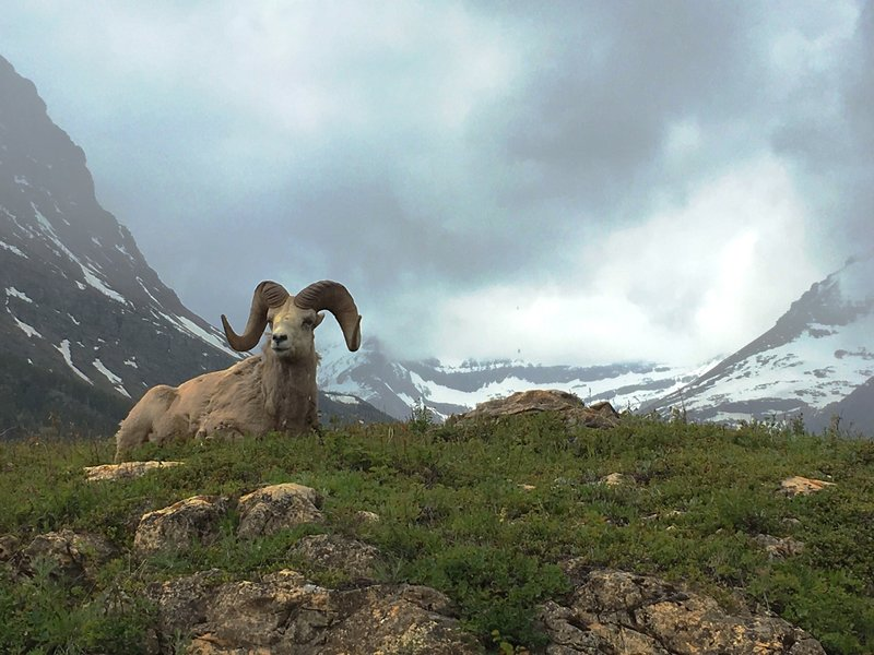 Bighorn Ram in front of the Many Glacier Hotel.