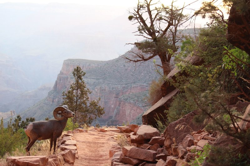 Bighorn Sheep crossing the Bright Angel Trail on our way to Plateau Point.