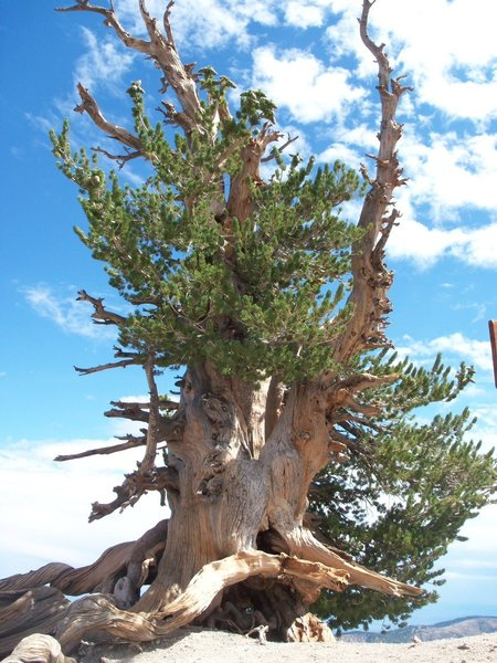 A beautiful, 2000+ year old limber pine; amazing!