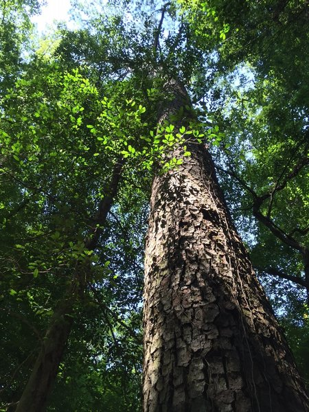 One of the two large loblolly pines.  Off the trail at Bridge D