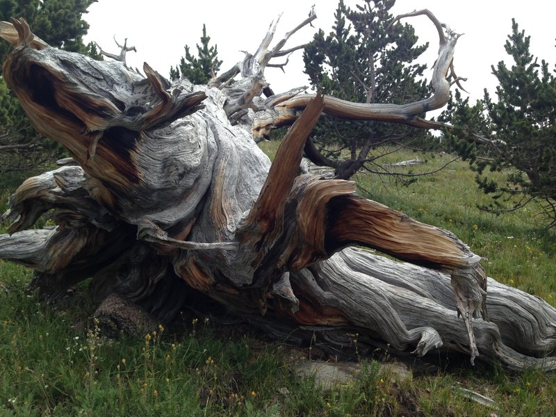 Interesting, gnarled stump beside the trail.