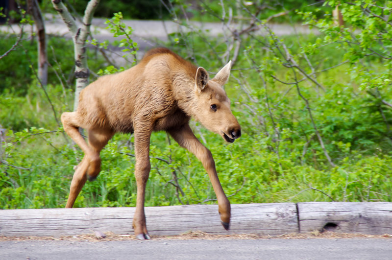 A baby moose gets his legs figured out on the CDT.