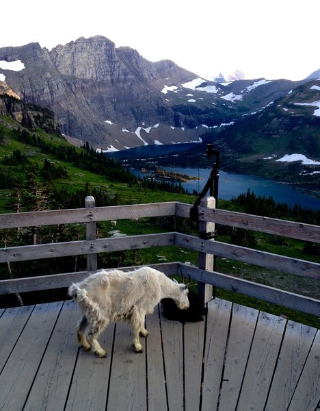 A curious mountain goat makes themself at home at the lookout.