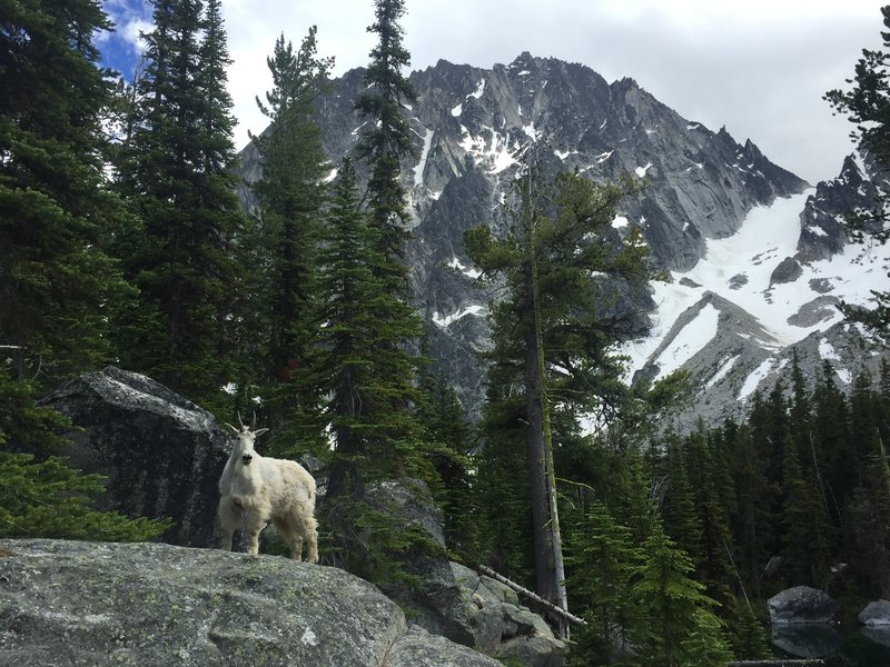 A mountain goat and his domain (Dragontail Peak in the background).