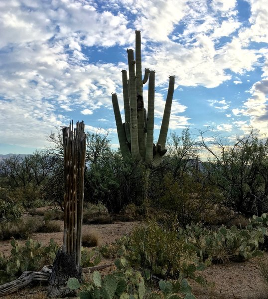 Old and new saguaros along the Mesquite Trail.