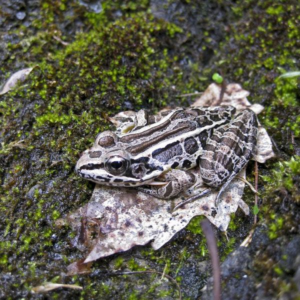 Pickerel frog, Delaware Water Gap National Recreation Area.