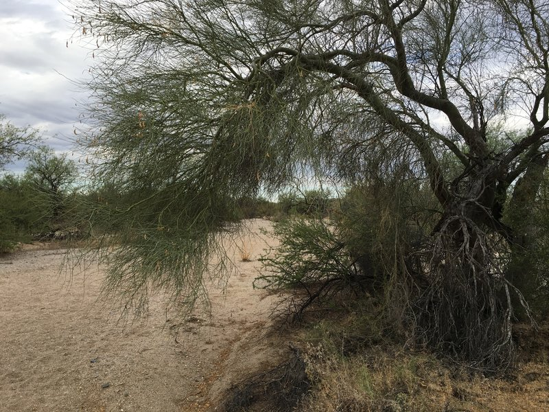 Vegetation along the wash includes paloverde and mesquite trees.