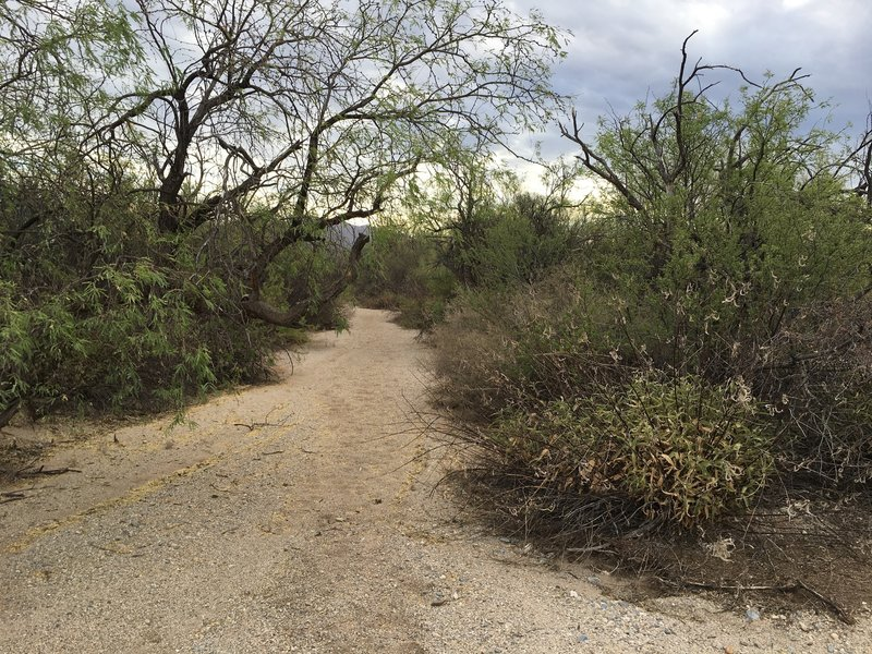 The Javelina Wash Trail gets narrow in places, but the trail is in the main drainage of the wash.