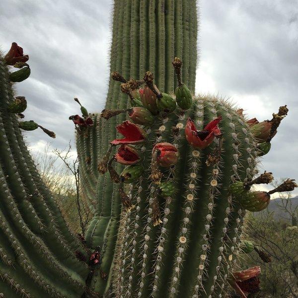 Flowering Saguaro along the Shantz trail.