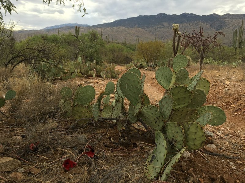 Red Saguaro fruits lies on the ground near a Prickly Pear cactus. Each Saguaro fruit holds over 2,000 seeds.