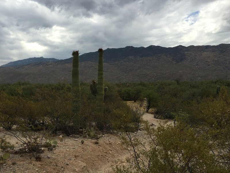 Pink Hill trail looking east at Tanque Verde Peak (just to the right of the Saguaros).