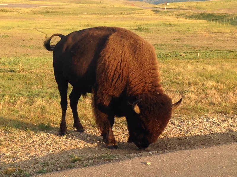 A bison nibbles at roadside greenery near the prairie dog town.