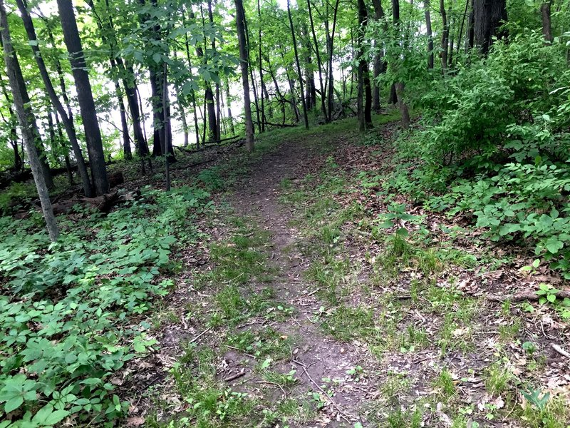 Triangle Trail singletrack with the Coralville Reservoir just beyond the trees.