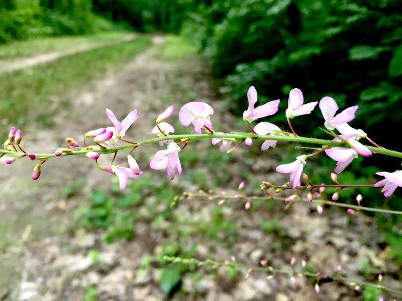 Nakedflower ticktrefoil along the Bird Bling Loop Trail.