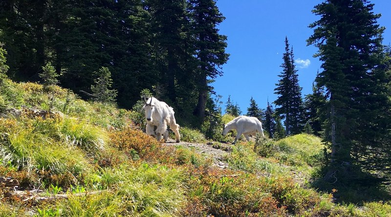 Goats preventing me from continuing up the trail. They followed me down for about a quarter mile.