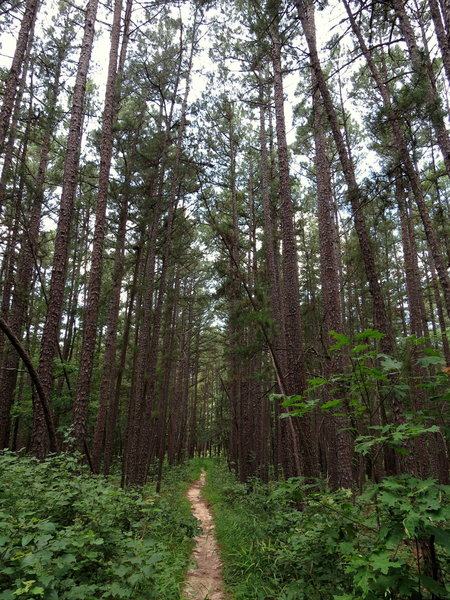 Trail through the pine forest.