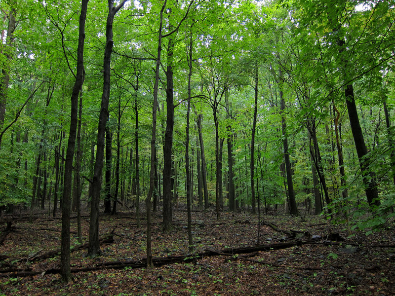 Forest in Sourland Mountain Preserve.