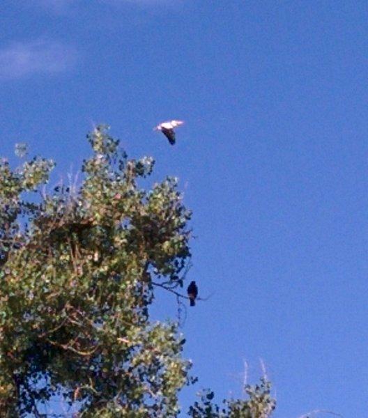 Migrating pelican and Swansons Hawk.