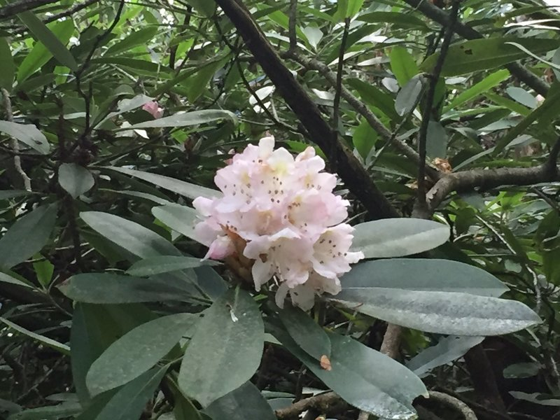 Rhododendrons are in full bloom the first 2 weeks of June. They form a canopy on the Coon Den Falls Trail.