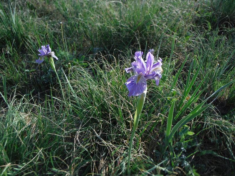 Wild Iris in full bloom in the Canada Bonito.