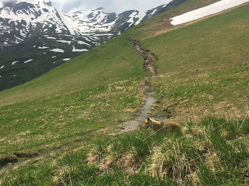 A wild fox crossing the Bachsee Trail.