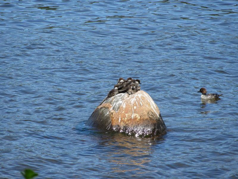 Golden Eye Ducks in Washington Harbor from the Washington Creek Trail.