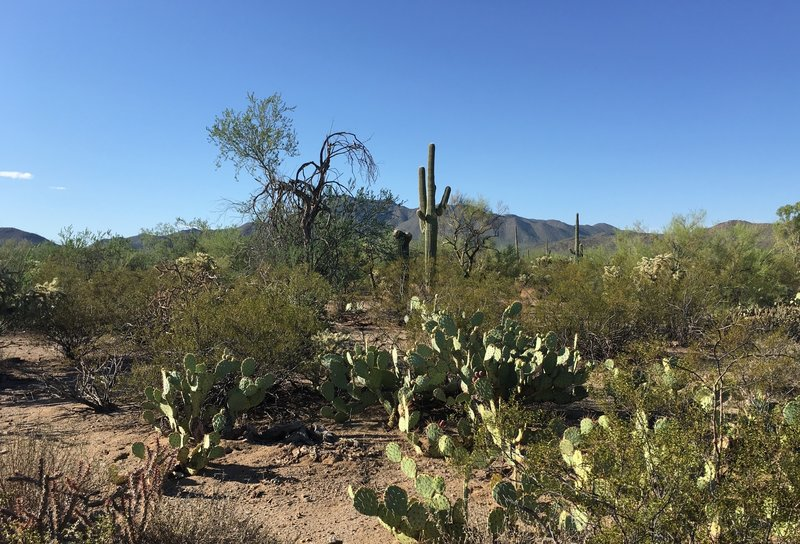 Looking south from Roadrunner trail at Tucson Mountains.