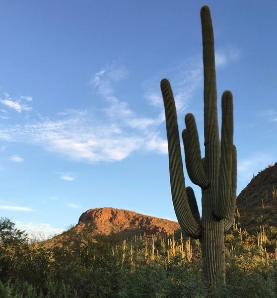 Saguaros in the morning sunlight.