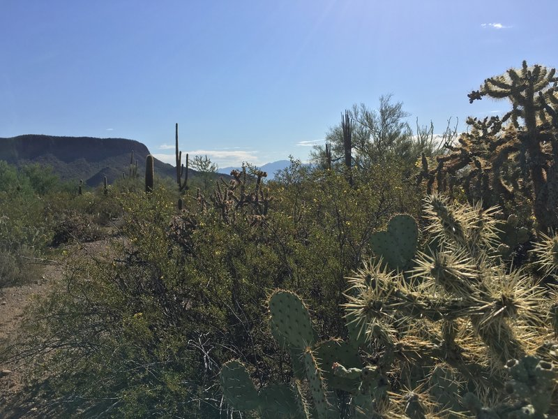 All sorts of cacti along the Cam-Boh trail including Prickly Pear, Cholla, and Saguaros.