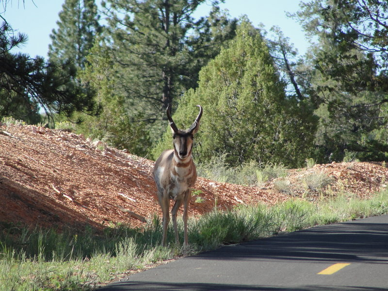Antilocapra americana Pronghorn. Keep an eye out for these beautiful creatures frequenting Red Canyon.