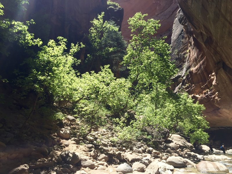 One of the many shelves along the Virgin River in Zion Canyon that support small riparian habitats.