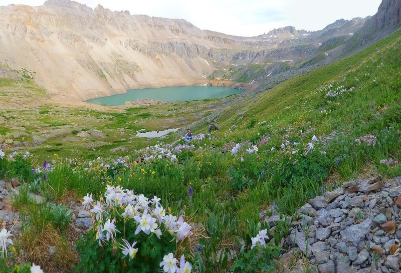 Field of columbines.