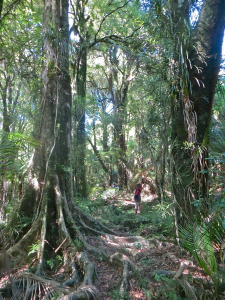 Pukatea tree with buttress roots beside Tahuanui Track. with permission from johnrag