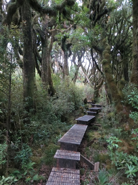 Boardwalk through the moss covered pahautea trees. with permission from johnrag