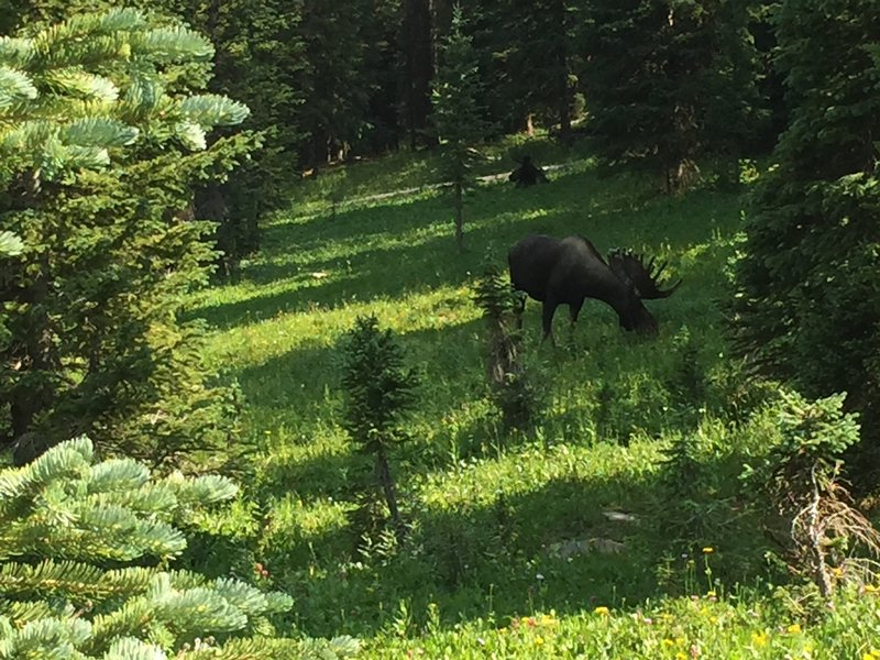 Two moose hanging out near the trail.