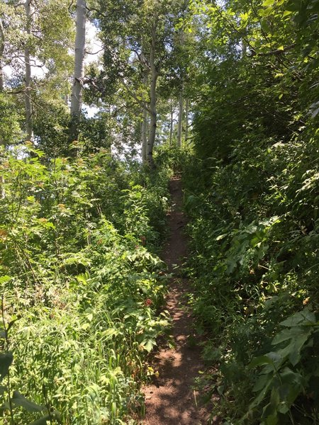 Butler Fork Trail.  Typical trail section.  Narrow path with heavy vegetation.  Photo on Aug 2, 2016