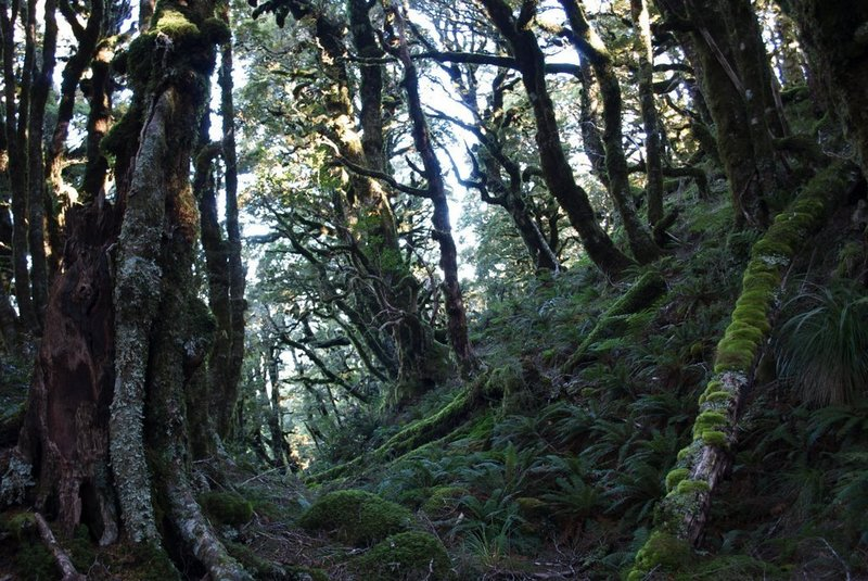 Beech Forest near the upper reaches before giving way to alpine scrub.