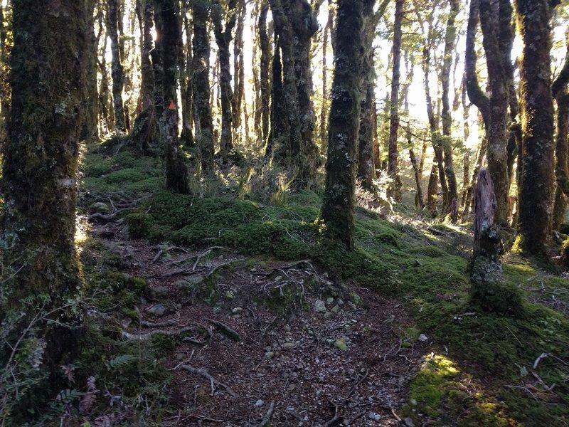 Beech trees and singletrack on the hard climb up to Jumbo Hut.
