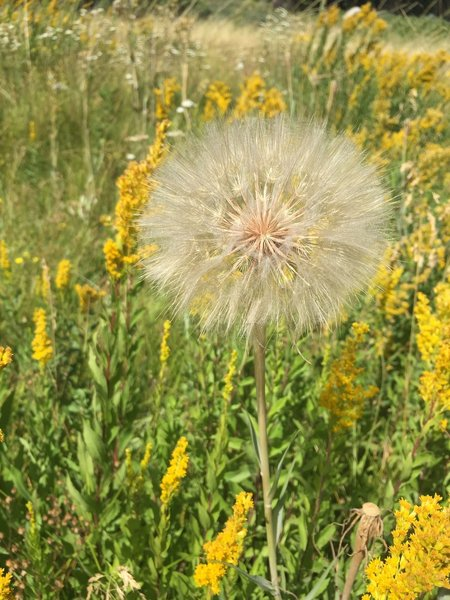 These massive dandelions (?) were everywhere. This flower was just a little smaller than a tennis ball.