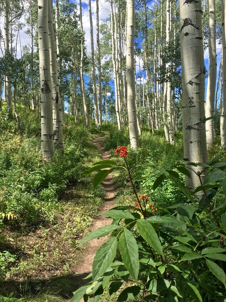 One of many aspen groves on the trail.