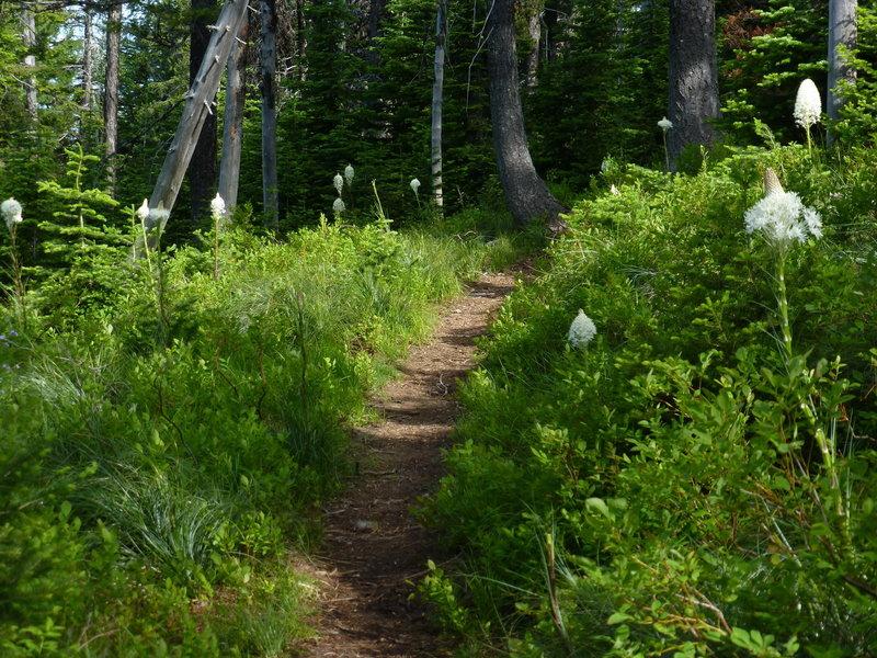 Beargrass along Chilco Mountain Trail, Idaho.