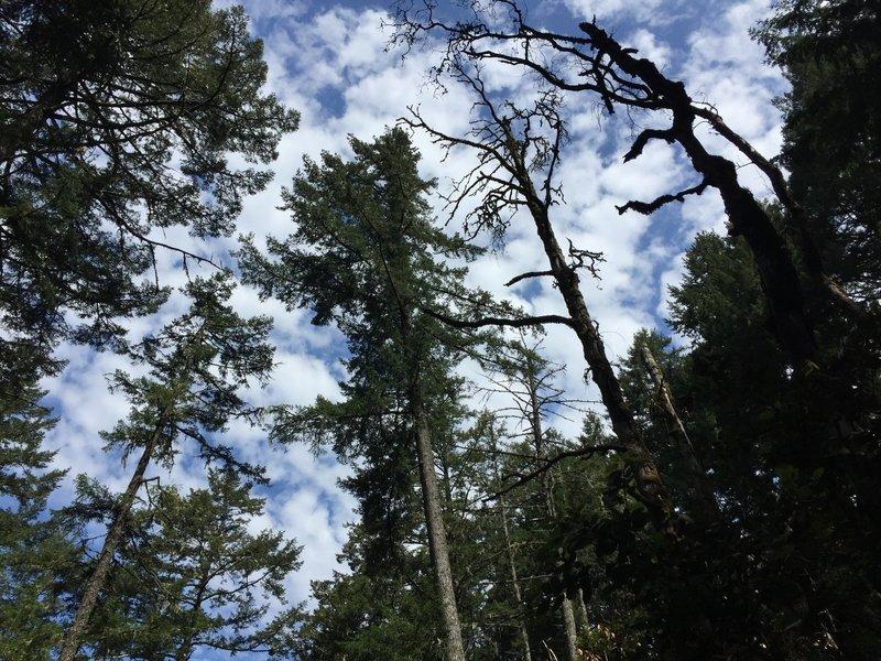 Cataract Trees