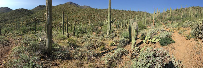 Saguaros and various desert plant life along Picture Rocks Wash Trail with Wasson Peak in the distance.