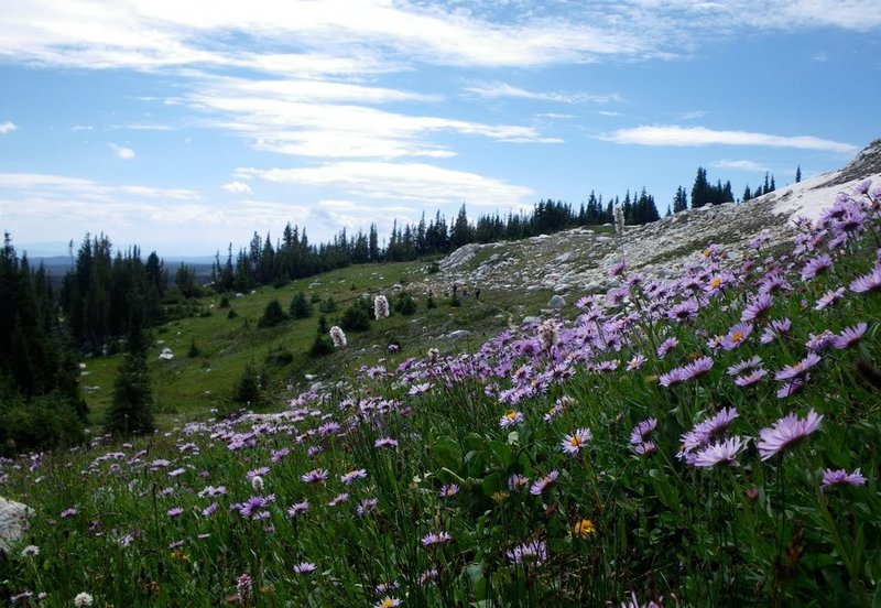 Medicine Bow wildflowers off Lost Lake Trail.